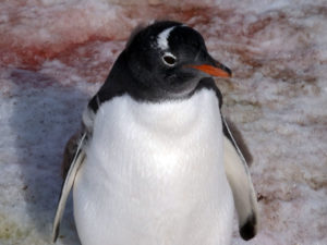 Chick of Gentoo Penguin