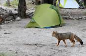 Una volpe passeggia fra le tende del Campo De Agostini