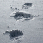 PolarBearTracks